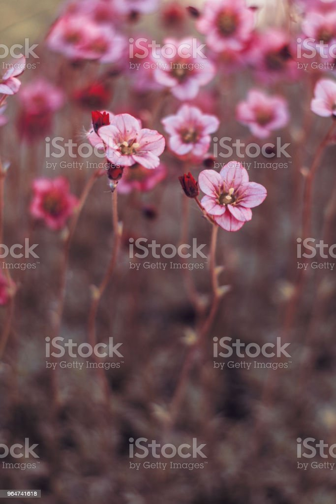 pink flowers moss royalty-free stock photo