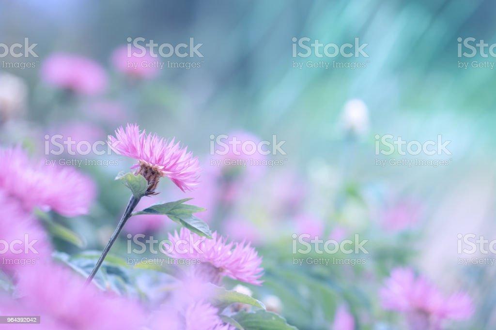 Flores cor de rosa de uma escovinha sobre um fundo turquesa. - Foto de stock de Beleza royalty-free