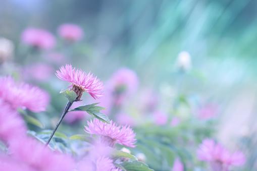 Foto de Flores Cor De Rosa De Uma Escovinha Sobre Um Fundo Turquesa e mais fotos de stock de Beleza