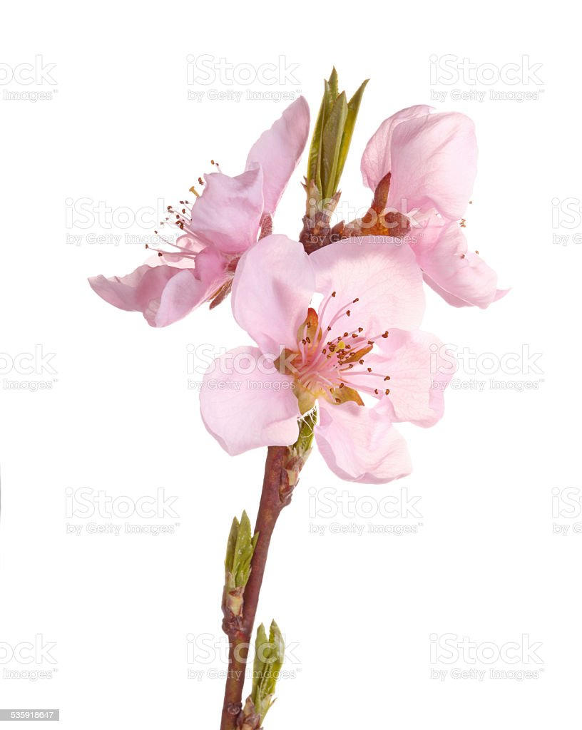 Pink flowers of a nectarine against white stock photo