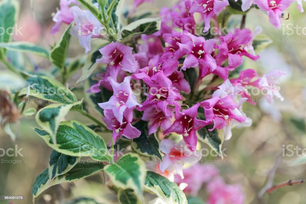Pink flowers of a Weigela florida bush - Royalty-free Arrowwood Stock Photo