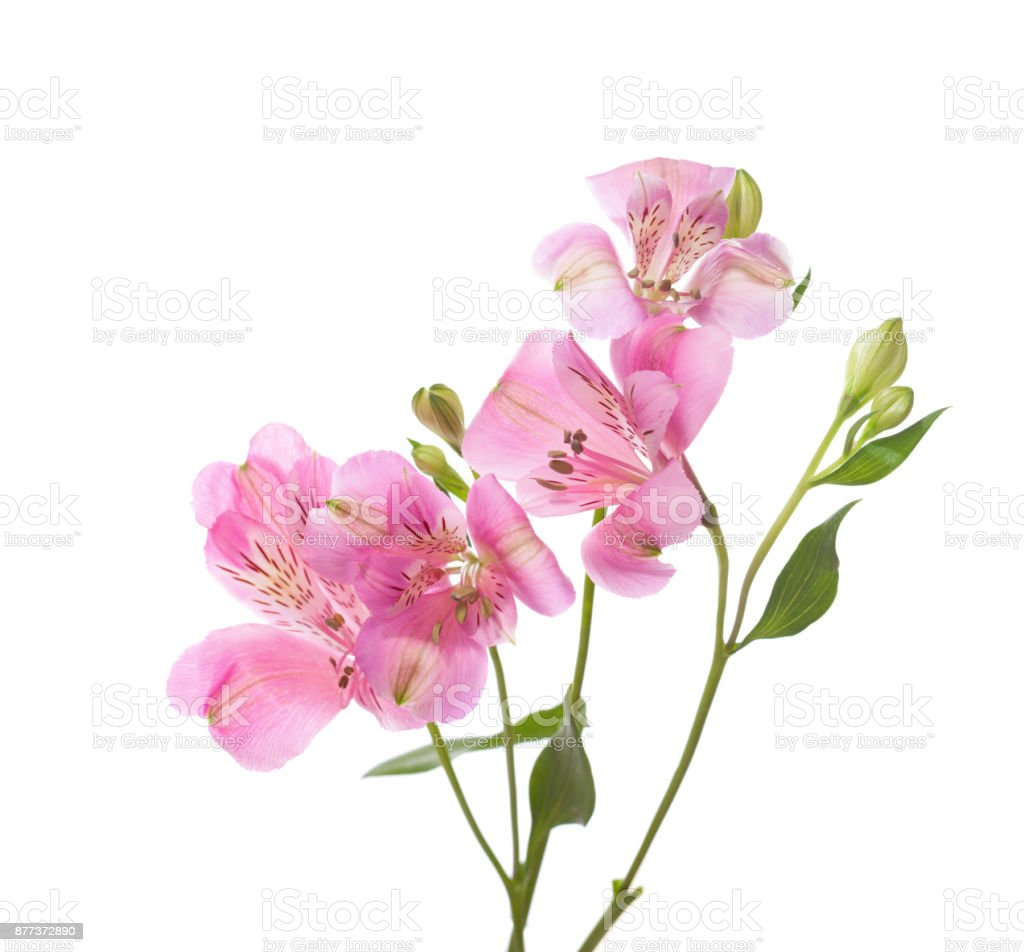 Pink flowers of alstroemeria  isolated on white background. stock photo