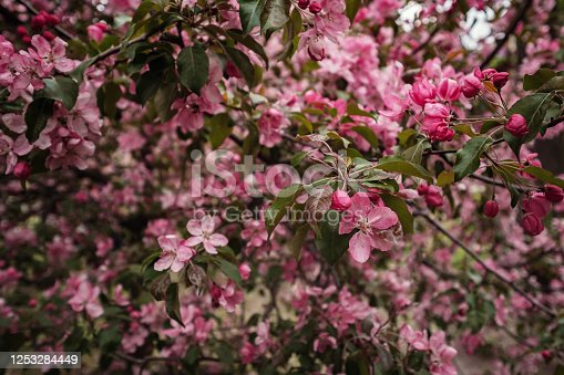 Pink flowers of Apple trees in the spring in Kolomenskoye Park in Moscow. The picturesque garden. Beautiful Park.