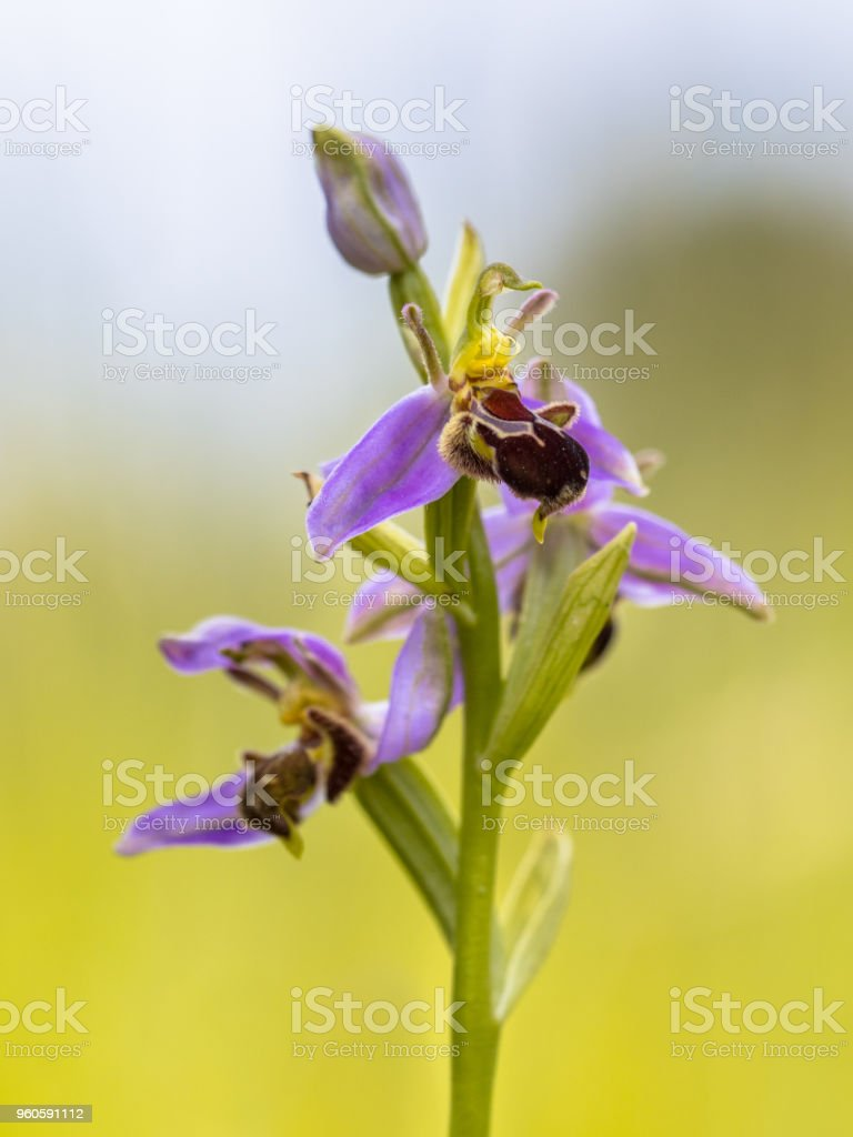 Pink flowers of Bee orchid against sky stock photo