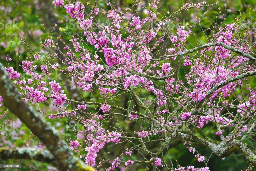 Pink  flowers of  cherry >France. May . Pays de la loire stock photo