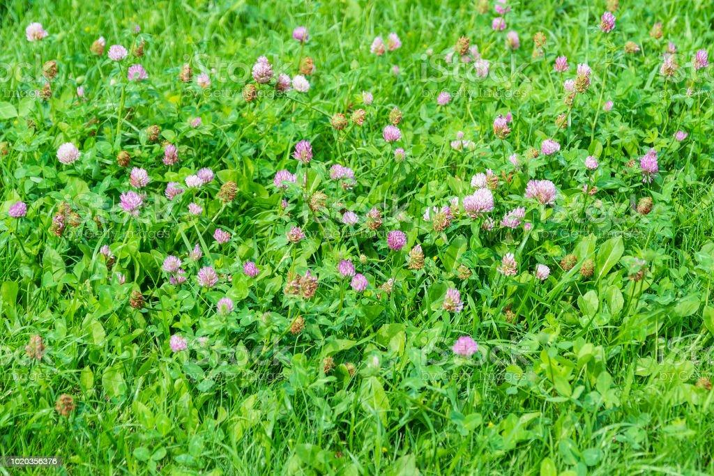 Fleurs roses du trèfle sur une prairie verte. Fleurs fanées - Photo