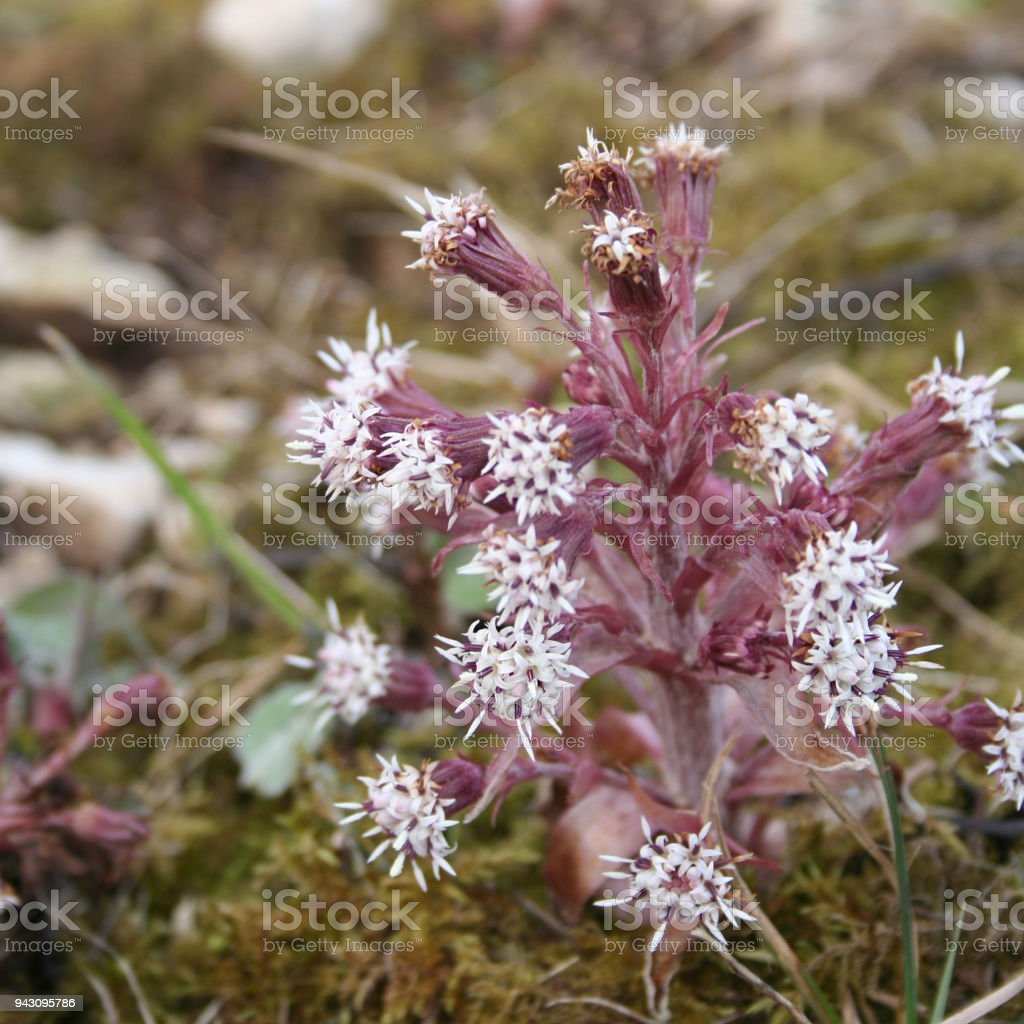 Pink Flowers Of Common Butterbur Stock Photo More Pictures Of