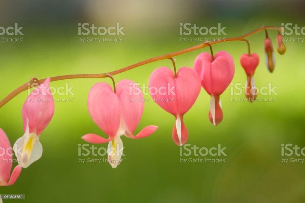 rosa flores de dicenter, macro - Foto de stock de Bielorrússia royalty-free