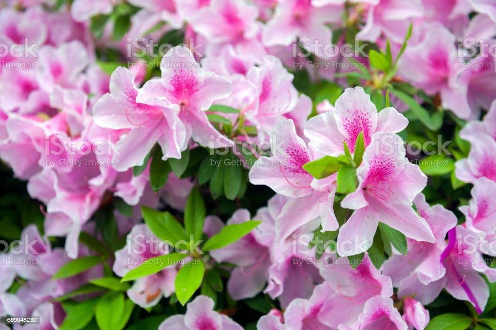 Pink flowers of George Taber azalea during blossom stock photo