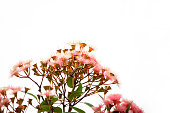 Pink flowers of gumtree, white background with copy space, full frame horizontal composition