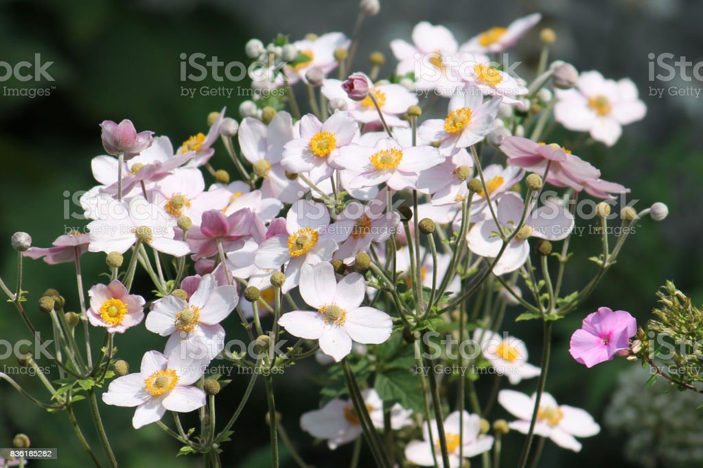 Pink flowers of Japanese anemone (Anemone hybrida) on flowerbed stock photo