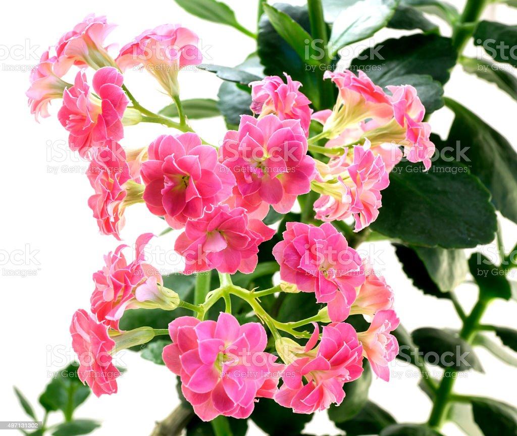 Pink Flowers Of Kalanchoe Plant Isolated On White Stock Photo