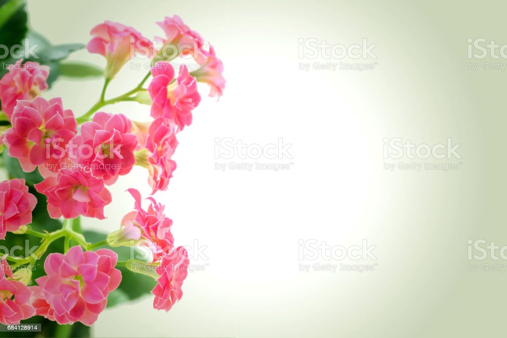 Pink flowers of Kalanchoe plant on romantic gradient background royaltyfri bildbanksbilder