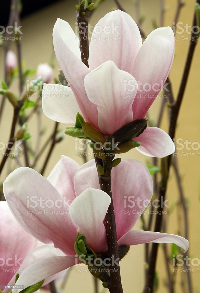 pink flowers of magnolia royalty-free stock photo