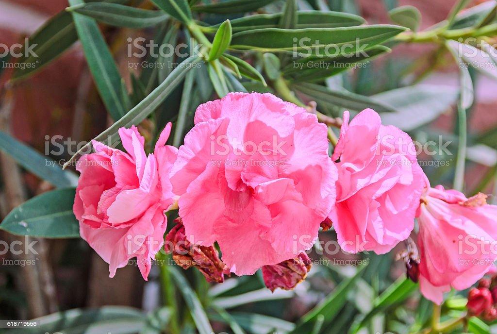 Pink flowers of nerium oleander evergreen shrub stock photo more pink flowers of nerium oleander evergreen shrub royalty free stock photo mightylinksfo