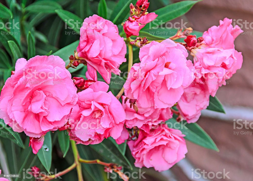 Pink Flowers Of Nerium Oleander Evergreen Shrub Stock Photo More