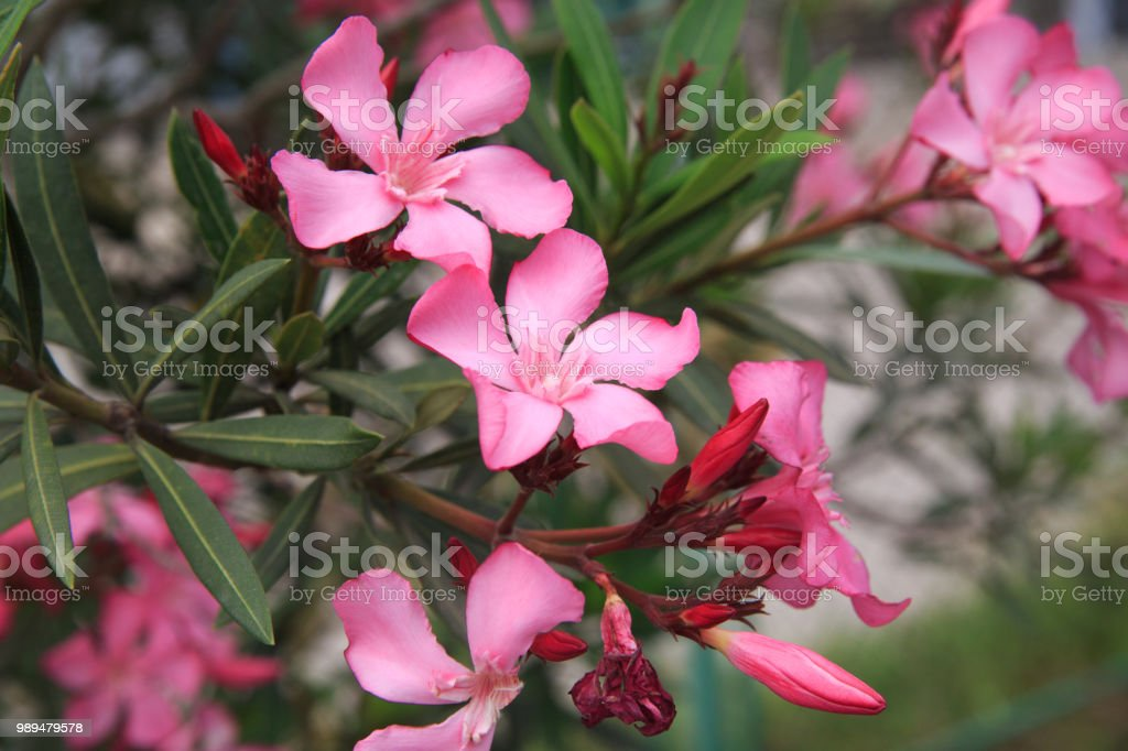 Pink flowers of oleander. stock photo