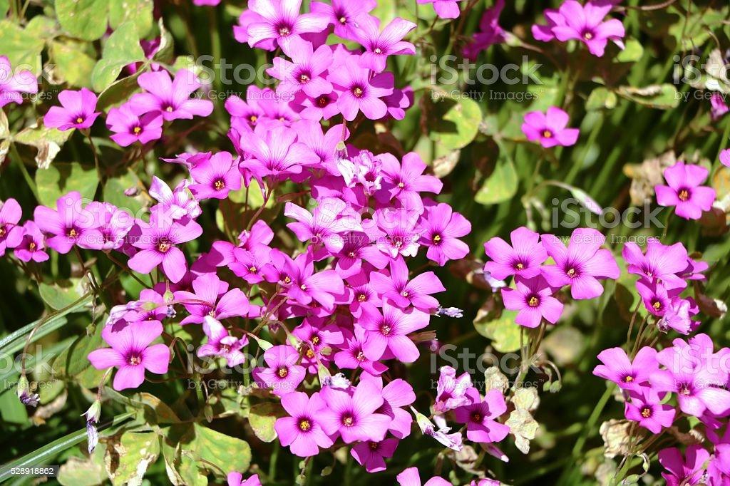 Pink Flowers of Phlox subulata stock photo