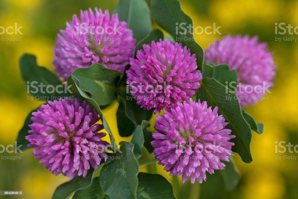 pink flowers of  wild clover - Royalty-free Aromatherapy Stock Photo
