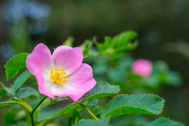 pink flowers of wild rose pink flowers of wild rose wild rose stock pictures, royalty-free photos & images
