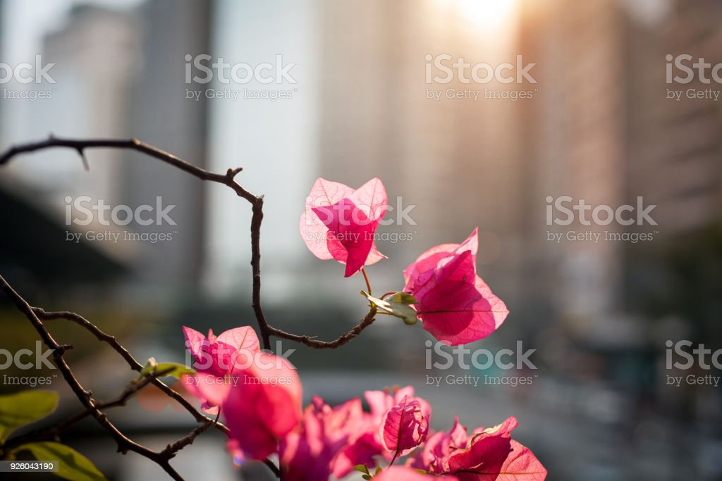 Pink flowers on a city background stock photo