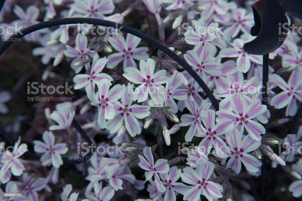 지상에 핑크 꽃 royalty-free 스톡 사진