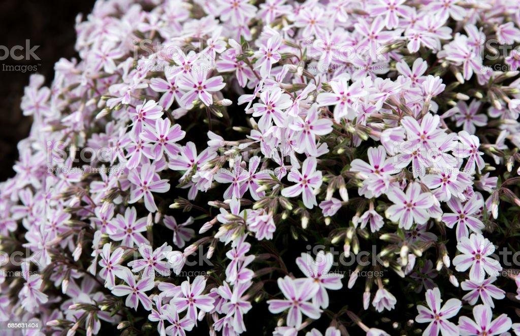 粉紅色的花朵,在地面上 免版稅 stock photo