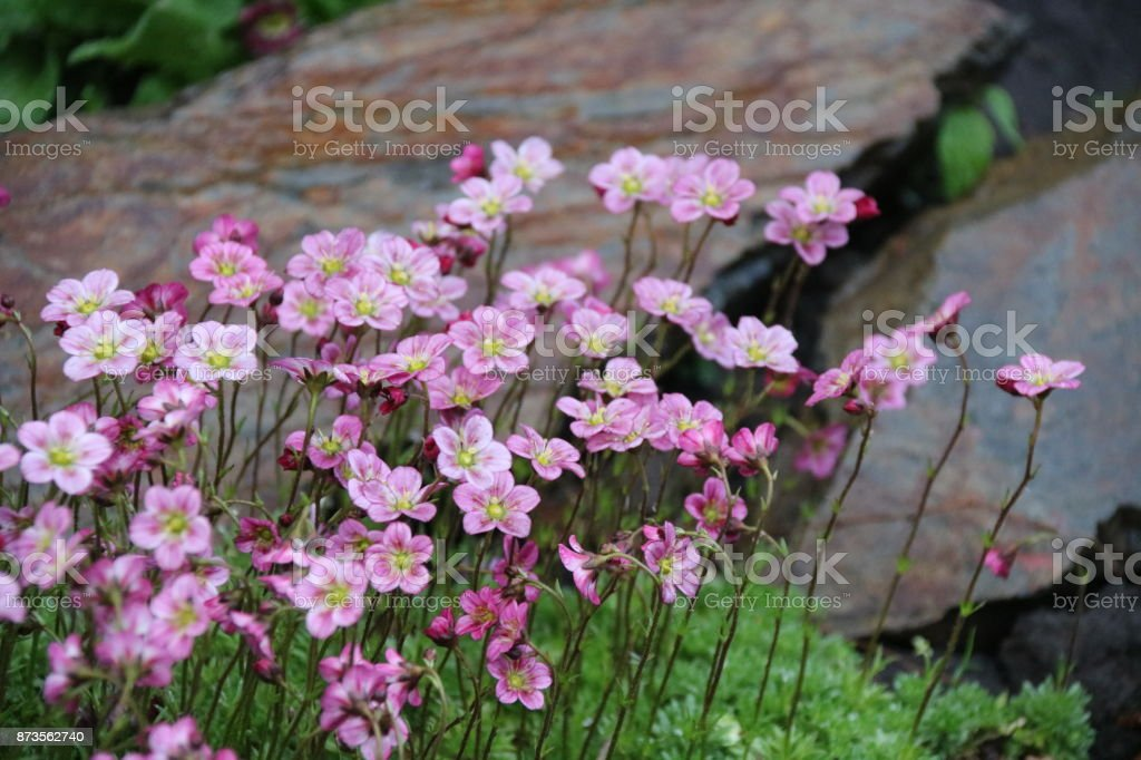 Pink flowers on a stone background stock photo
