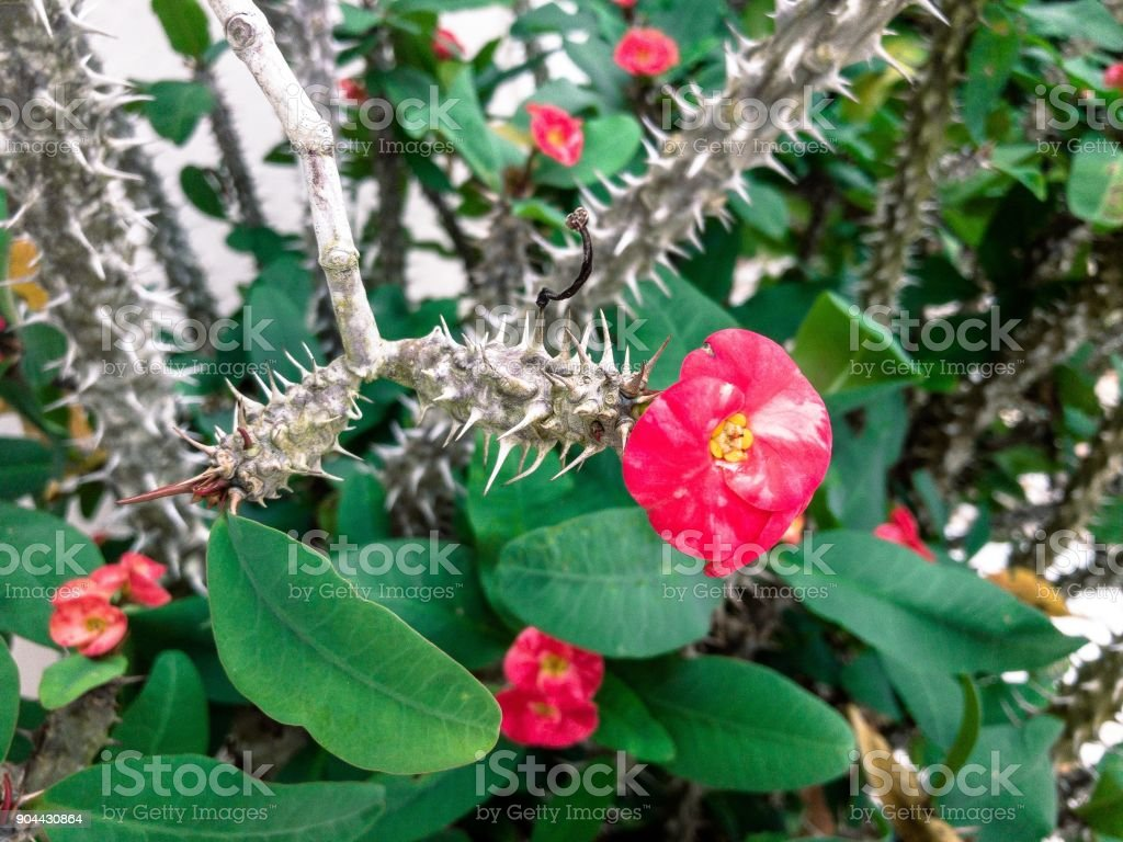 Pink Flowers On A Thorny Plant Stock Photo More Pictures Of