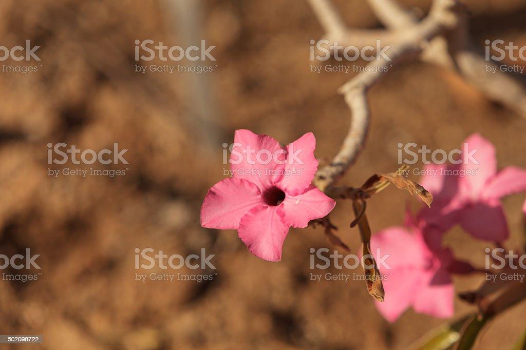 Pink flowers on Adenium obesum swazicum stock photo