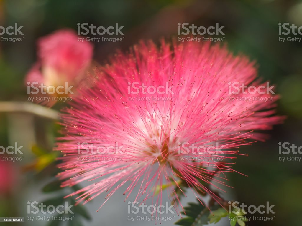Pink Flowers On Blooming Albizia Julibrissin Stock Photo More