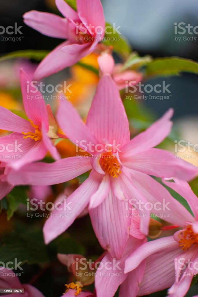 Pink flowers on the balcony royalty-free stock photo
