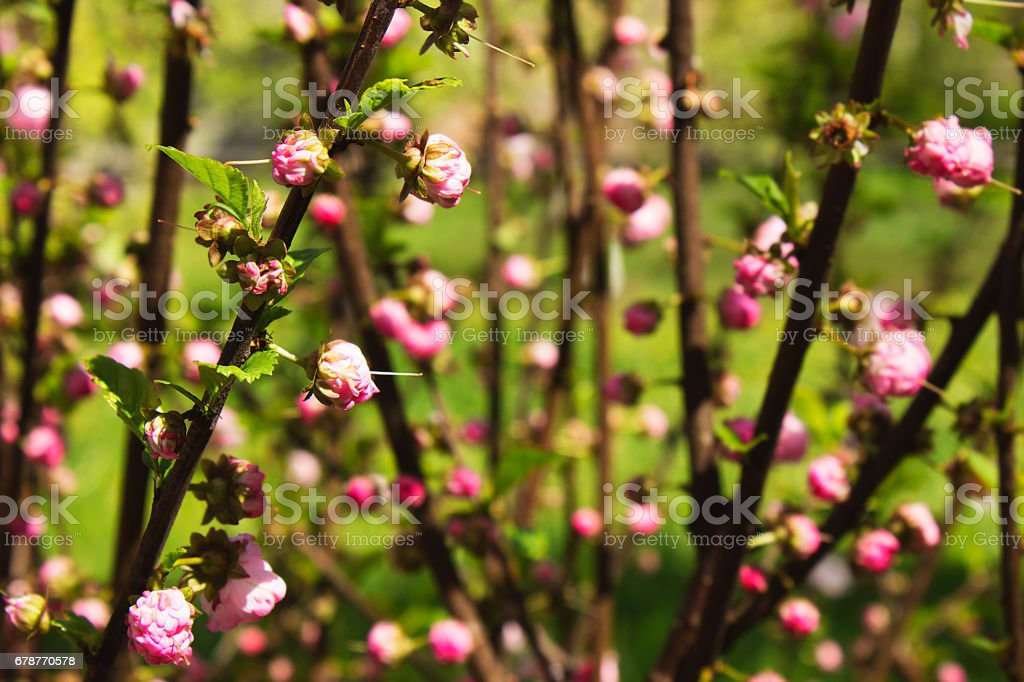 Pink flowers on the branches in the garden. photo libre de droits