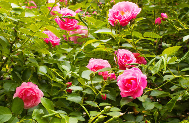 Royalty free china rose pictures images and stock photos istock pink flowers on the branches in the garden stock photo mightylinksfo Gallery