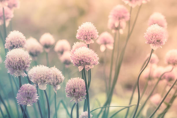 Pink flowers on the meadow​​​ foto