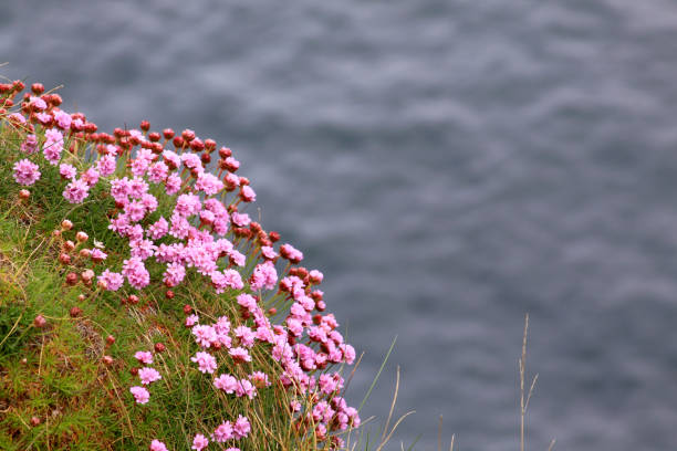 Pink flowers on the sea shore in Ireland stock photo