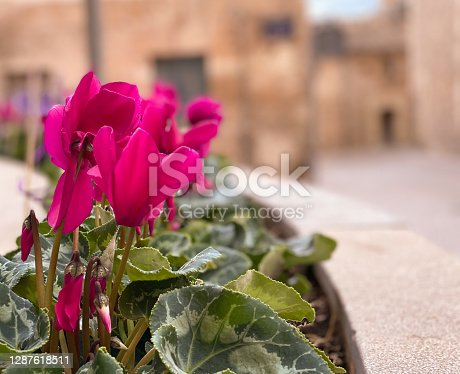 Close-up of pink flowers planted on the street