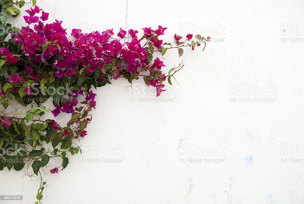 Pink flowers on white wall in Bougainvillea stock photo