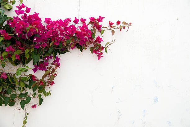 Best Bougainvillea Wall Stock Photos Pictures Amp Royalty