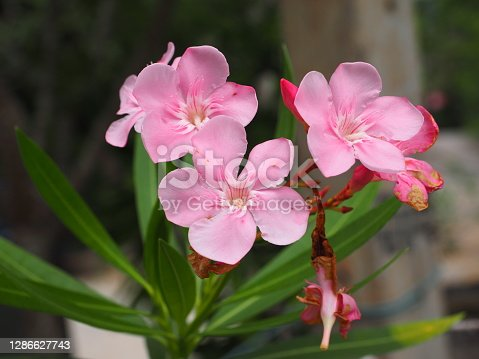 group of pastel pink flowers in green leaves garden background
