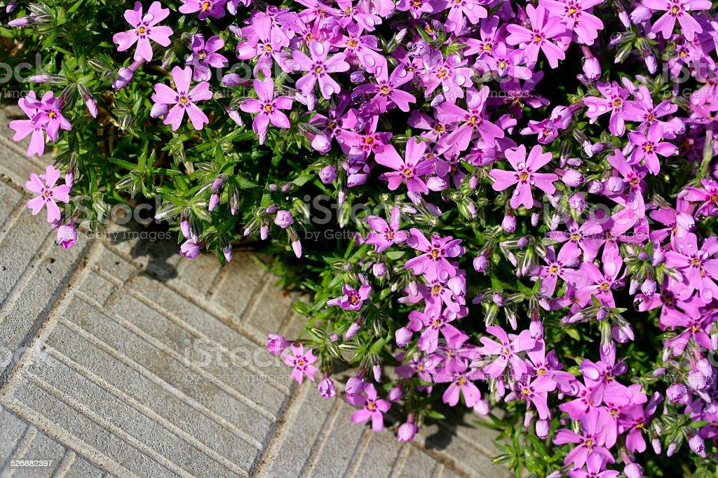 Pink Flowers (Phlox) stock photo