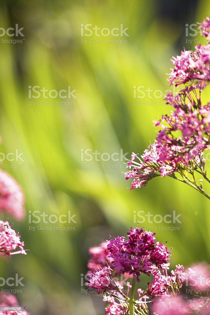 Fiori rosa foto stock royalty-free