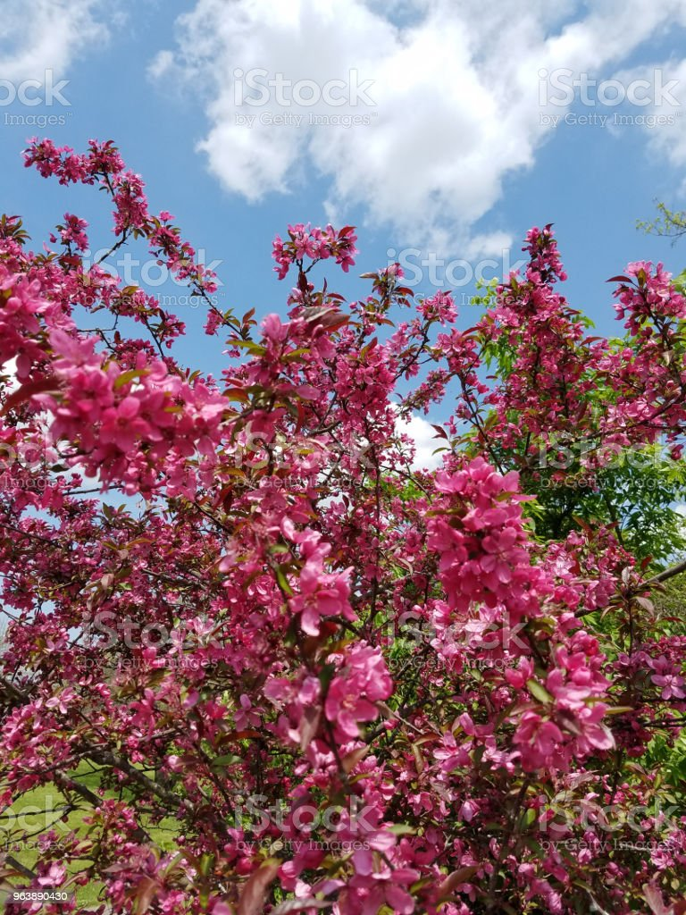 Pink flowers - Royalty-free Agricultural Field Stock Photo