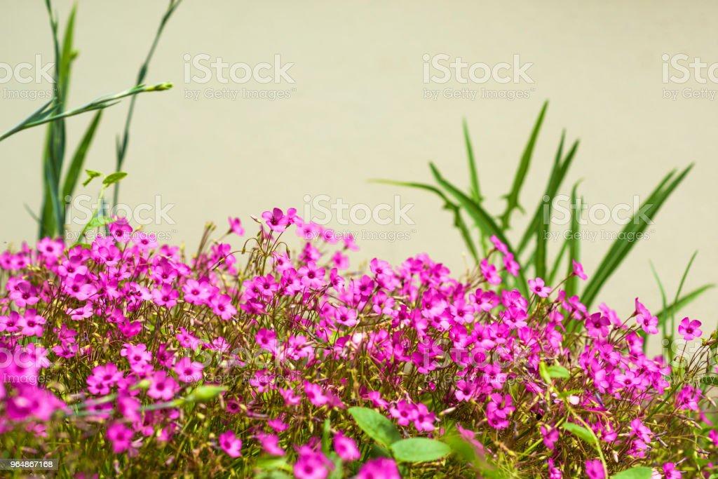 粉紅色的花朵 - 免版稅光圖庫照片