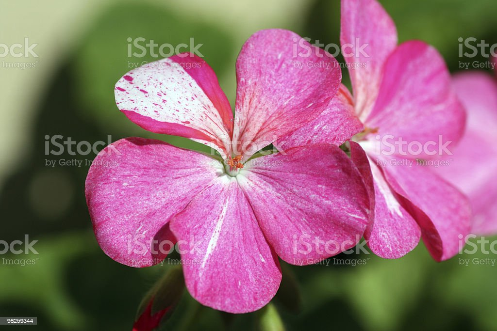 Fiori rosa foto stock royalty-free