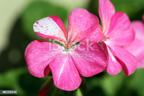 Pink Flowers Stock Photo & More Pictures of April