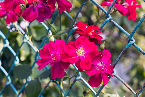 Pink flowers Rosa rubiginosa in fence, pastel colors