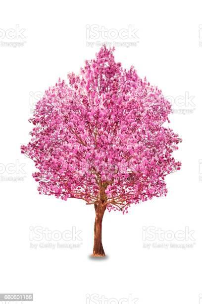 Pink flowers tabebuia rosea blossom picture id660601186?b=1&k=6&m=660601186&s=612x612&h=iutipzrrp7k3yjvuyixjbykag42yuxk6ccdjnnbdfco=