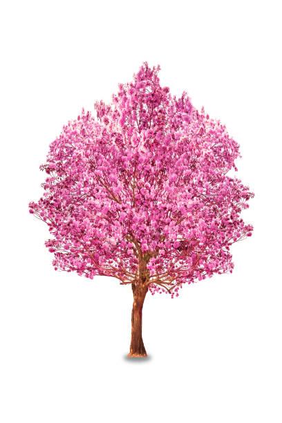 Pink flowers tabebuia rosea blossom picture id660601186?b=1&k=6&m=660601186&s=612x612&w=0&h=dmjlkm4erdz5fgjqaj xws6wsnzrzlcsqqqiqq2zy m=