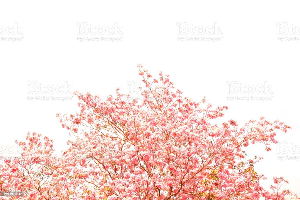 Pink flowers tabebuia rosea blossom. royalty-free stock photo